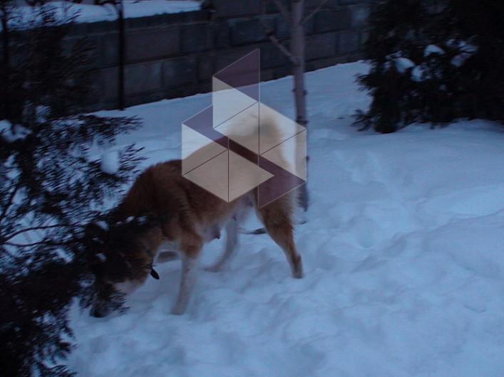как натоскать собаку на лося название